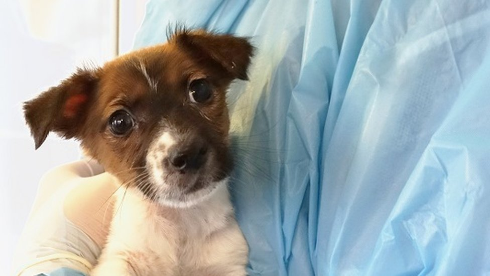 A picture of Jack Russell Terrier Luna at the vets after being llegally sold underage on a buy and sell website