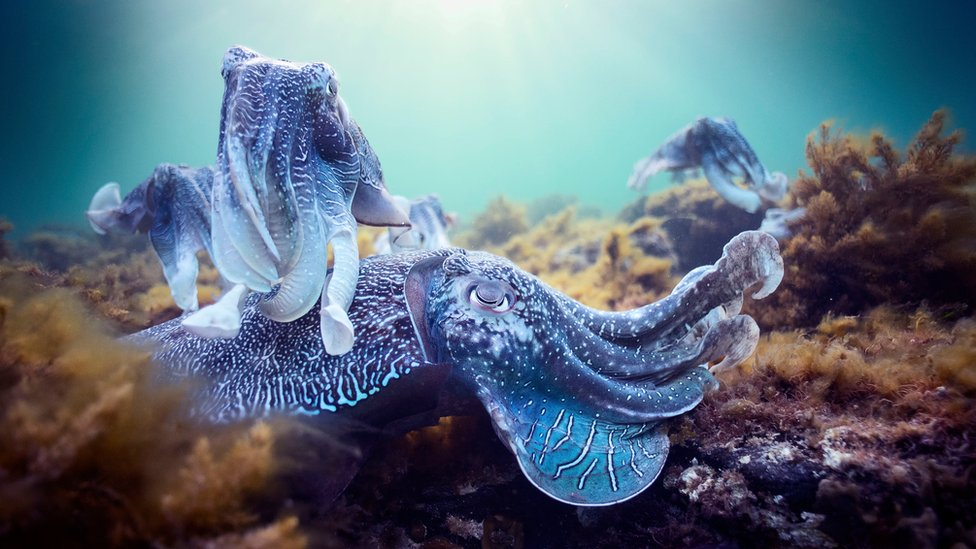 Giant cuttlefish mating aggregation, South Australia