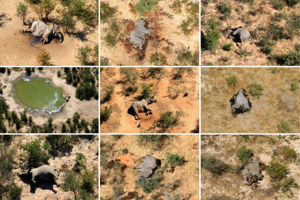 Una foto compuesta muestra elefantes muertos en el delta del Okavango de Botsuana en mayo y junio de 2020.