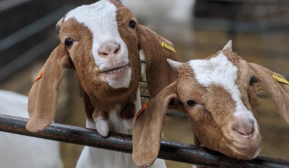 Goats Sebastian and Lulu