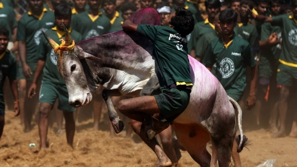 "a youngster tries to tame a bull at a traditional bull taming festival called ""Jallikattu"" in Palamedu near Madurai,"
