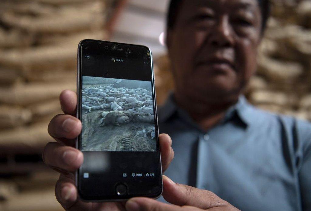 Sun Dawu mostrando una foto de su ganado muerto en su celular, más de un año después de que la peste porcina comenzara a extenderse por todo el país (foto: sept 2019).