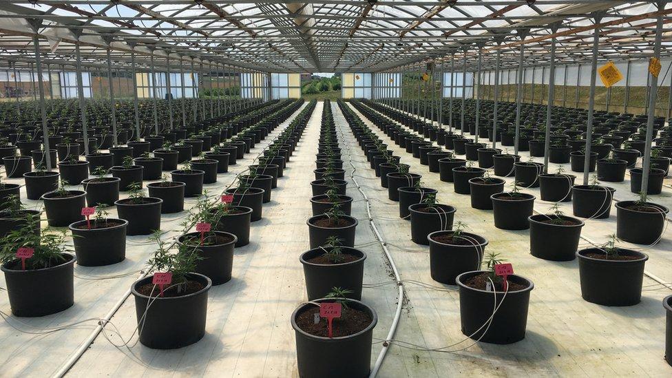 Cannabis plants in a