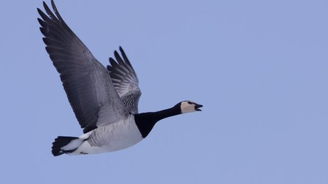 Arctic wild goose chase threatens chicks as temperatures rise