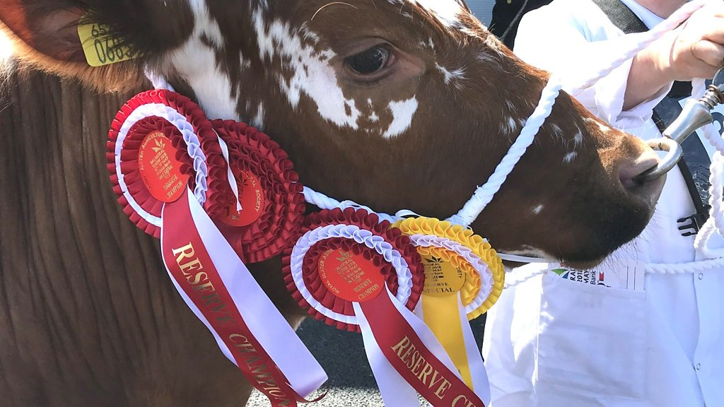 What makes a prize cow?