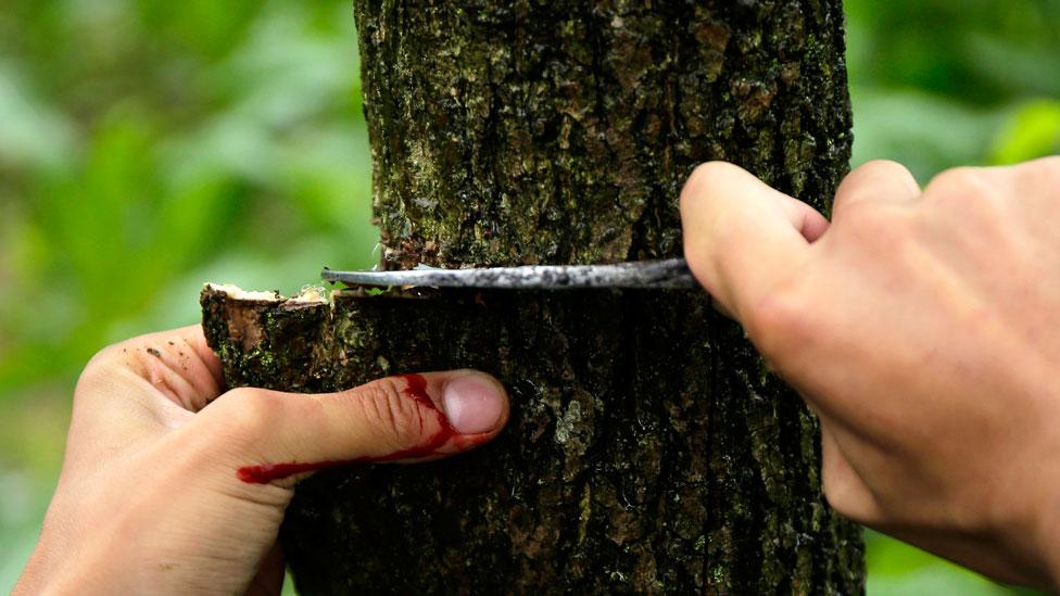 Un hombre cortando la corteza de una gutapercha