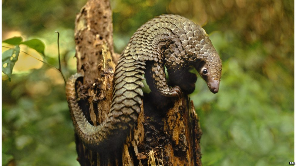 Long-tailed pangolin, Congo
