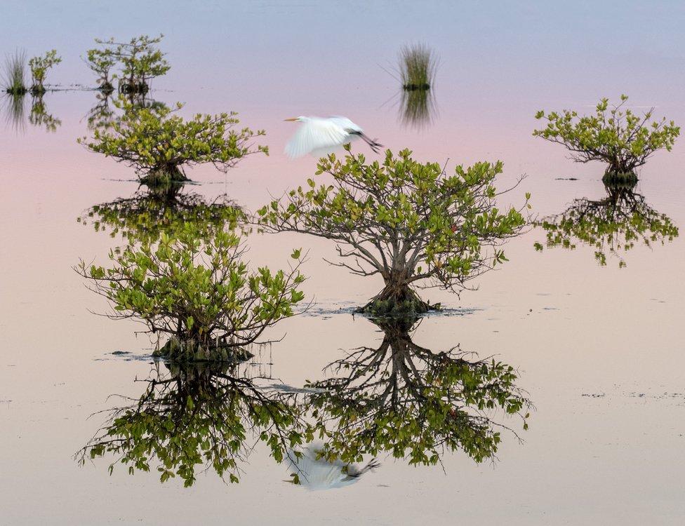 A bird flies between mangrove trees in water in Florida