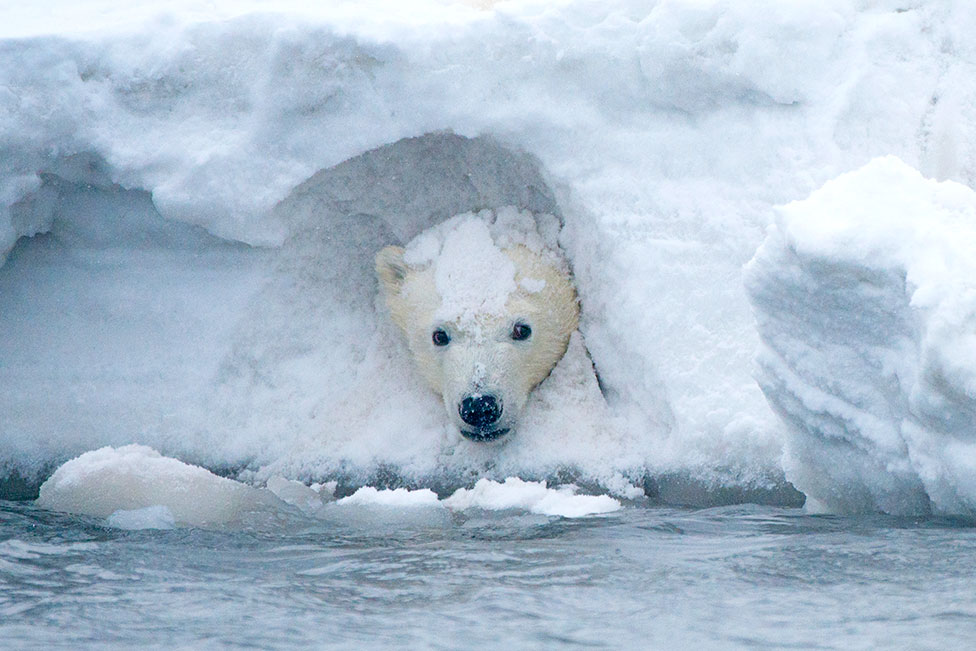 A polar bear cub plays in a snow drift at the 1002 area of the Arctic National Wildlife Refuge in 2014