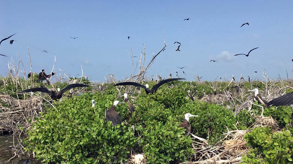 Pájaros en Barbuda