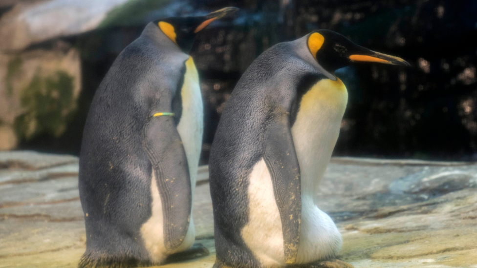 King penguins at Berlin Zoo, 2019