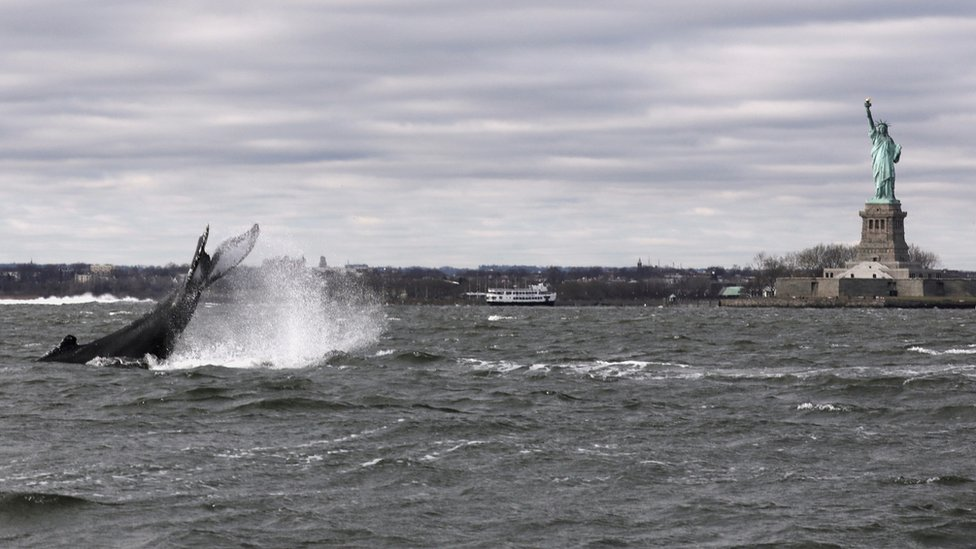 A humpback whale surfaces near the Statue of Liberty in this photo taken from a boat on New York Harbor in New York City, U.S., December 8, 2020