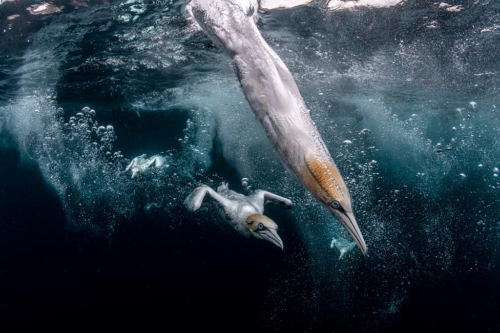 كائنات بحرية بجوار جزر شيتلاند في سكوتلندة