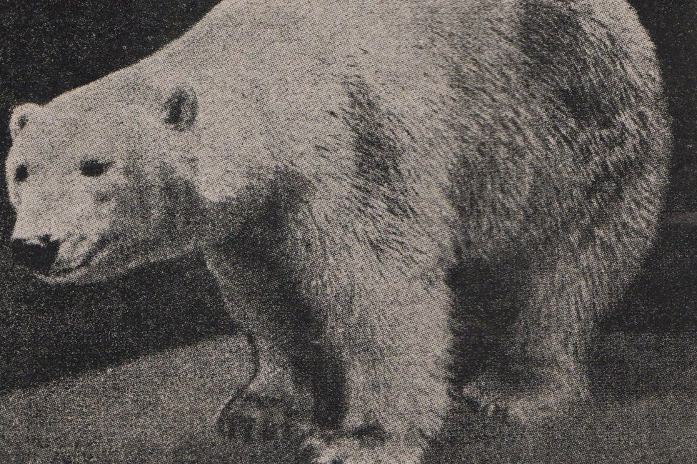 Polar bear Baśka