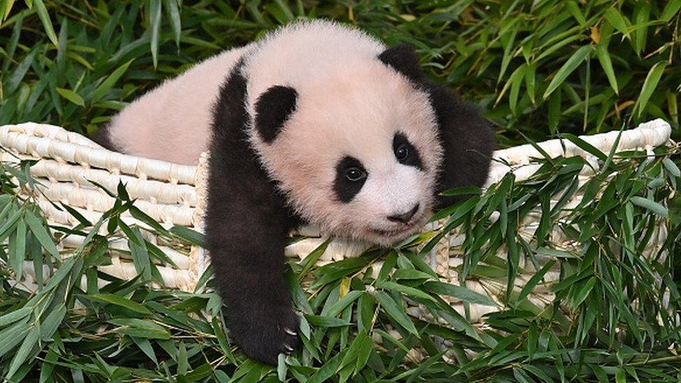 Panda cub Fu Bao, who was born in South Korea
