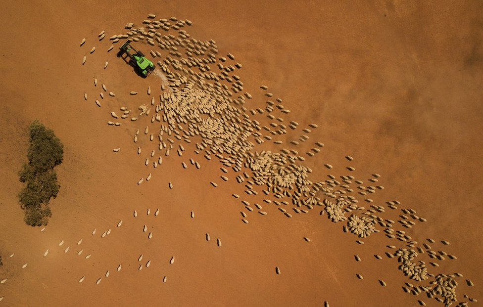 An aerial view as a farmer feeds his sheep in Louth, Australia in February. Local communities in the Darling River area are facing drought and clean water shortages as debate grows over the alleged mismanagement of the Murray-Darling Basin.