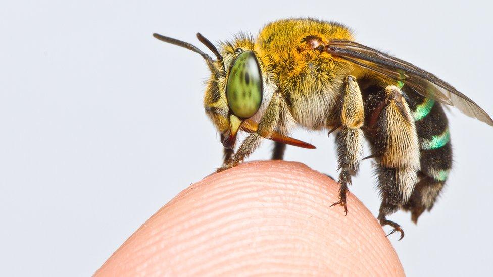 Una abeja de la especie Amegilla andrewsi