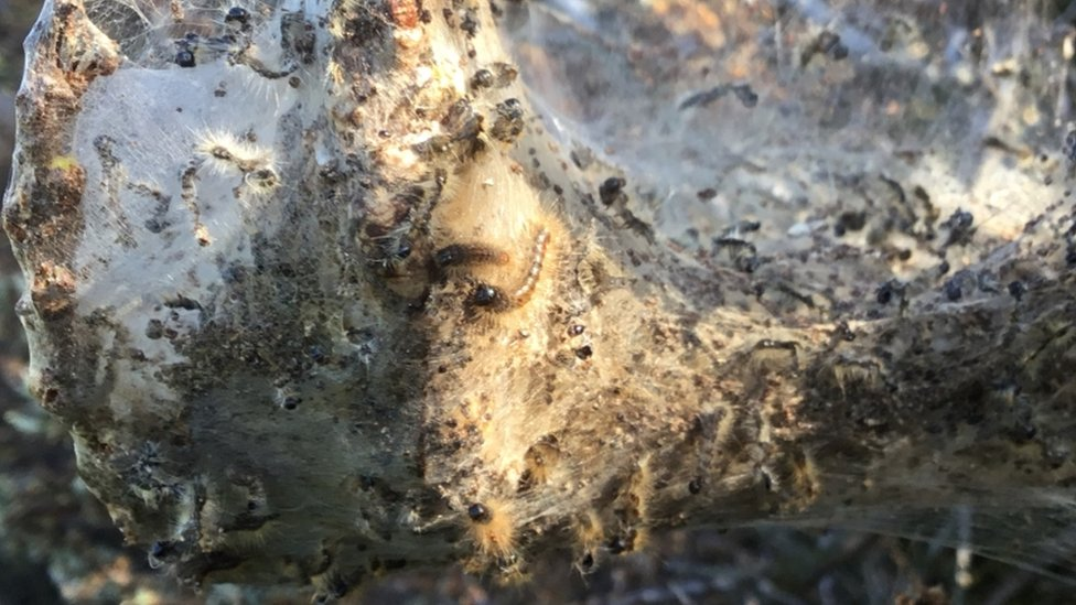 Invasion of toxic caterpillars closes parts of seaside town