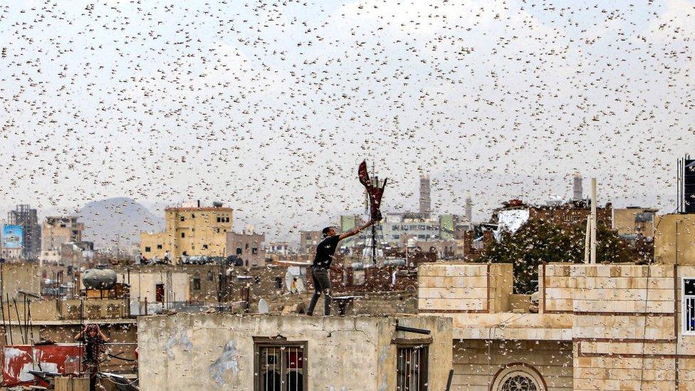 Kawanan belalang di Sanaa