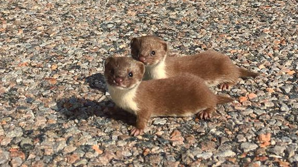 Wee posers: Baby weasels photographed near Achiltibuie