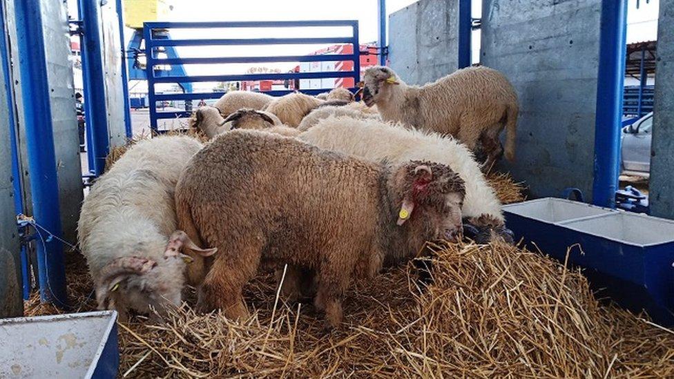 Ovce spasene u Rumuniji