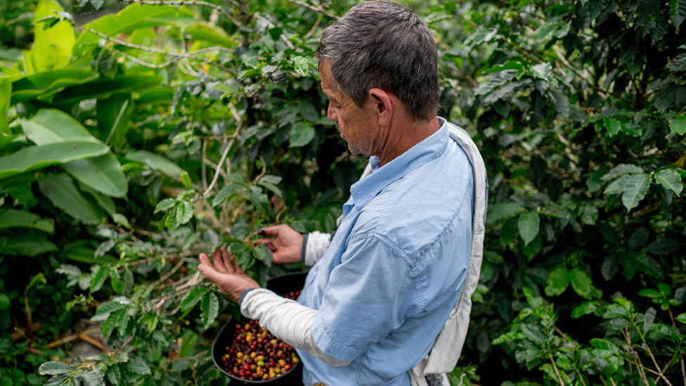 Caficultor en Colombia recolectando granos de café
