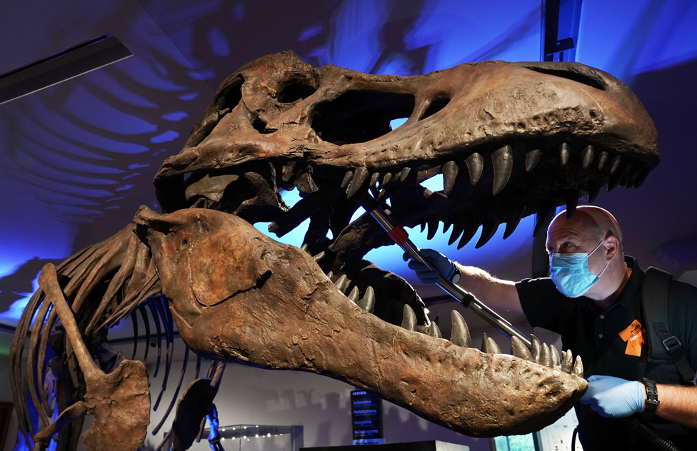 A man cleaning a replica Tyrannosaurus Rex skeleton
