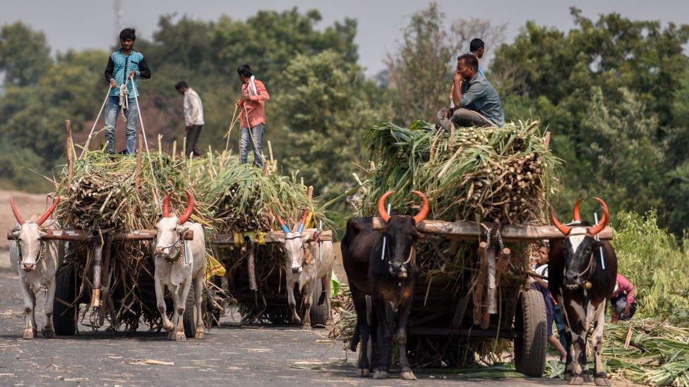 Recogedores de caña en India