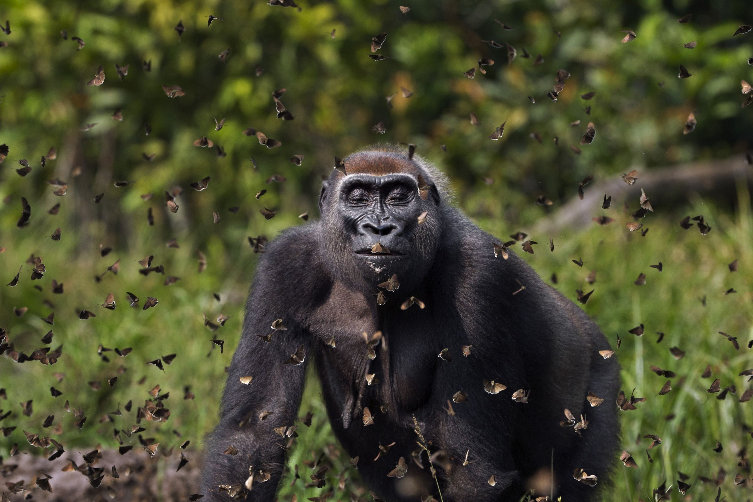 Gorila caminando entre una nube de mariposas