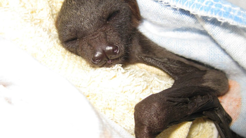 A baby bat is wrapped in a blanket