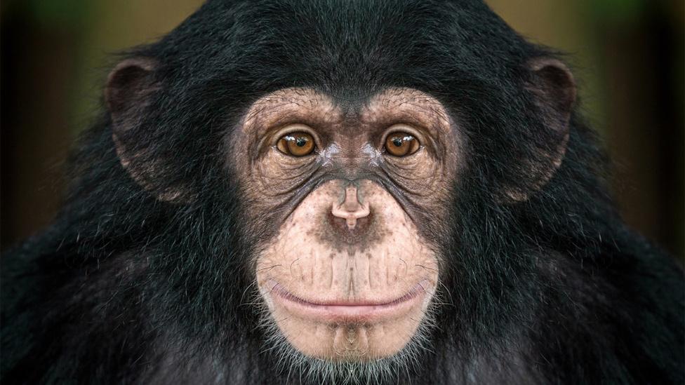 Chimpancé mirando de frente