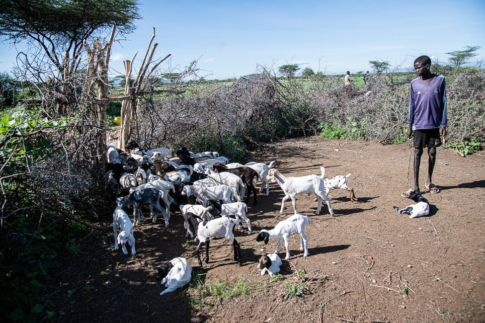 A member of Erupe Lobun's family holds kid goats in an acacia-thorn cattle pen apart from their mothers to stop them taking too much milk