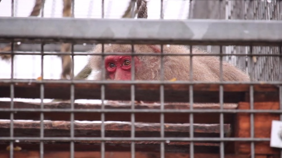 Endangered Monkeys Being Kept As Pets Says Sanctuary Owner Bbc News
