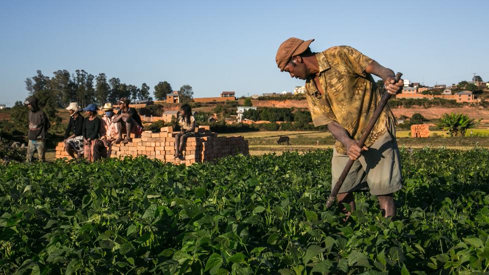 Seorang petani yang merawat tanaman artemisia di Madagaskar - Mei 2020