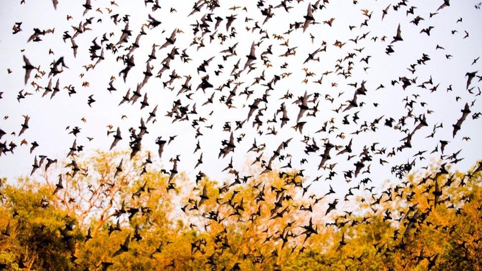 墨西哥一處石灰石洞穴裏飛出的蝙蝠。