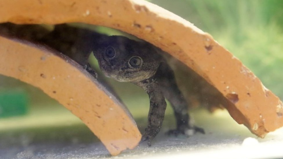 Rescued endangered Loa water frogs have 200 offspring thumbnail