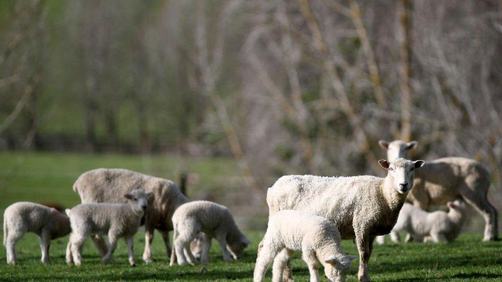 Corderos en Nueva Zelanda.