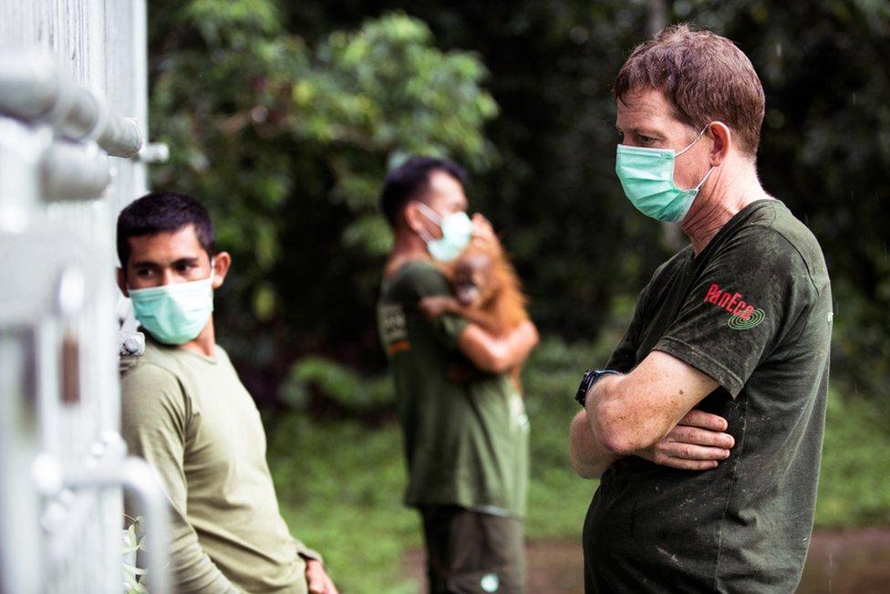Dr Ian Singleton watches over the sedated female orangutan in Jambi, northern Sumatra.