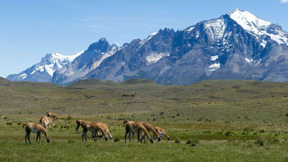 lame u Patagoniji