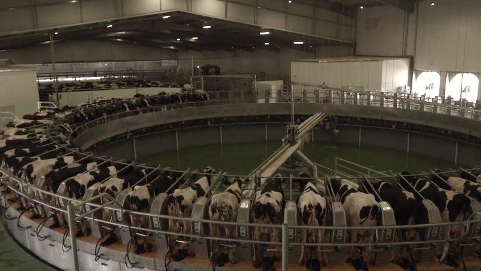 La granja Baladna tiene 10.000 cabezas de ganado.