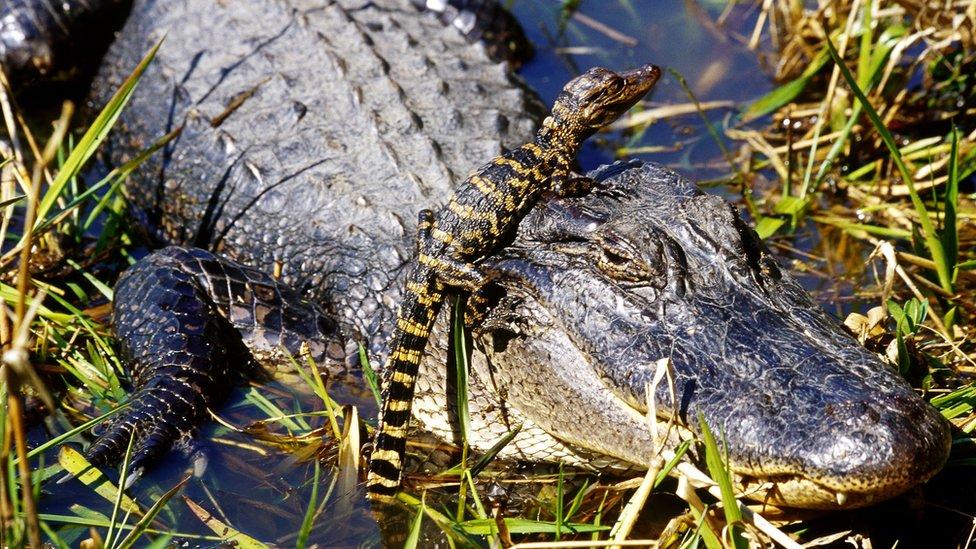 Aligatori takođe imaju slične lobanje, tvrde naučnici
