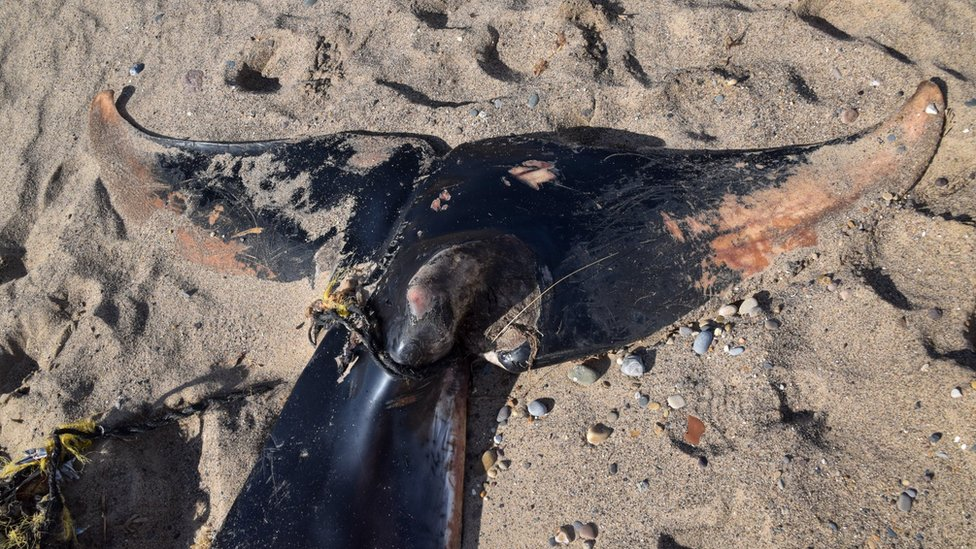 Minke whale's tail wrapped in rope and debris