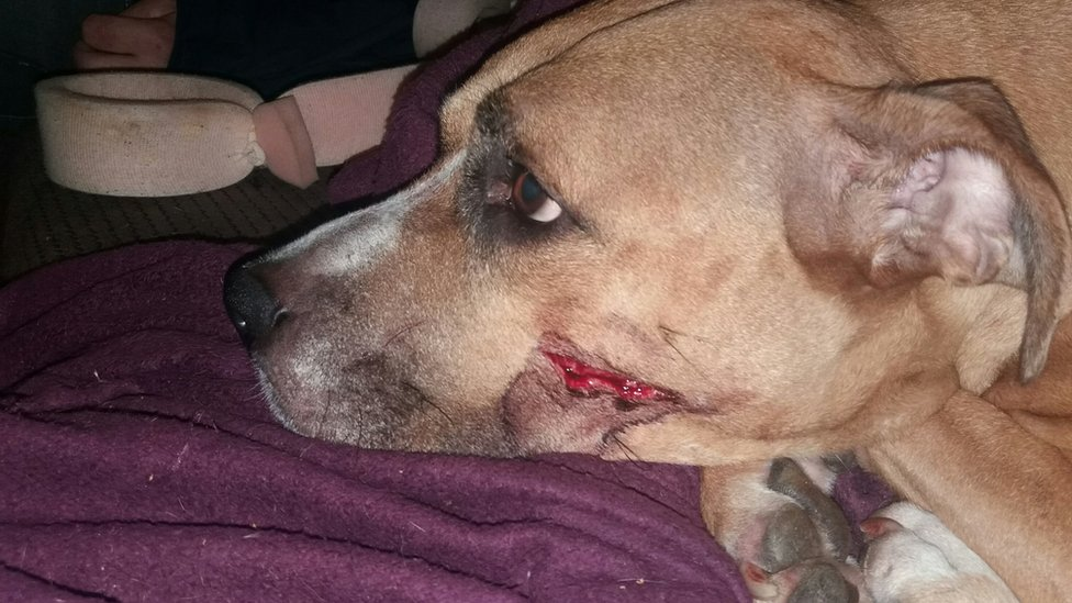 Photo of Zena who was injured with a machete while trying to defend the puppies