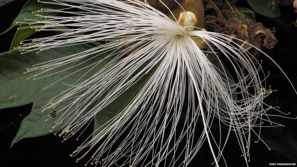 Inga tree flower (Image courtesy Toby Pennington)