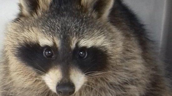 Scottish SPCA bid to rehome 'escaped' pet raccoon