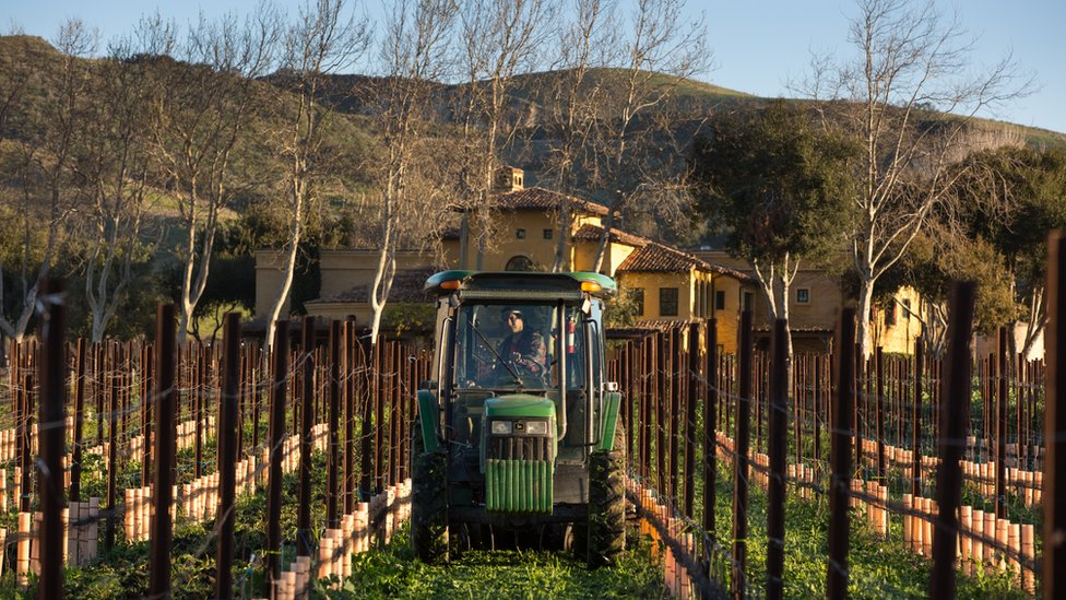 Pinot noir grapevines in the Santa Rita Hills undergo budbreak, coming back from dormancy under sunny skies on March 13, 2019, near Lompoc, California.
