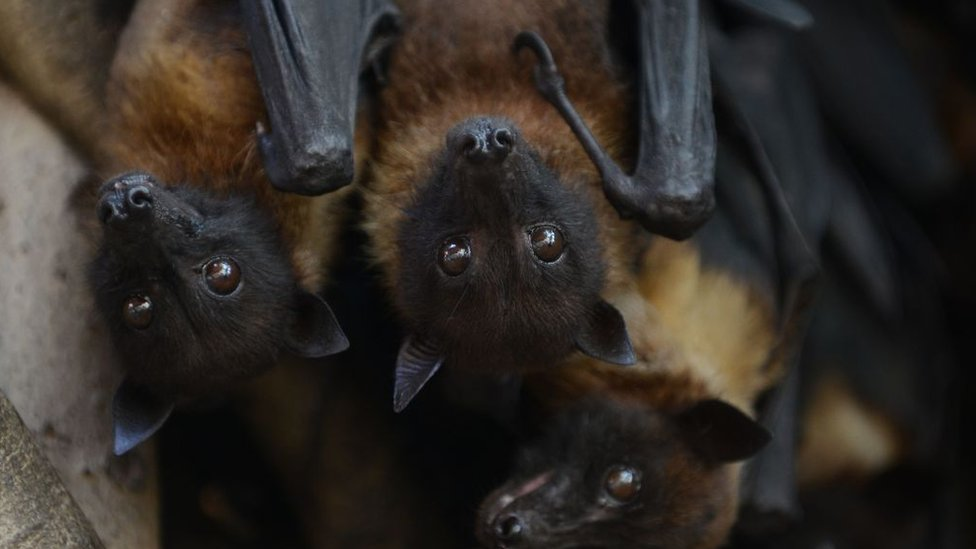 Murciélagos en India.