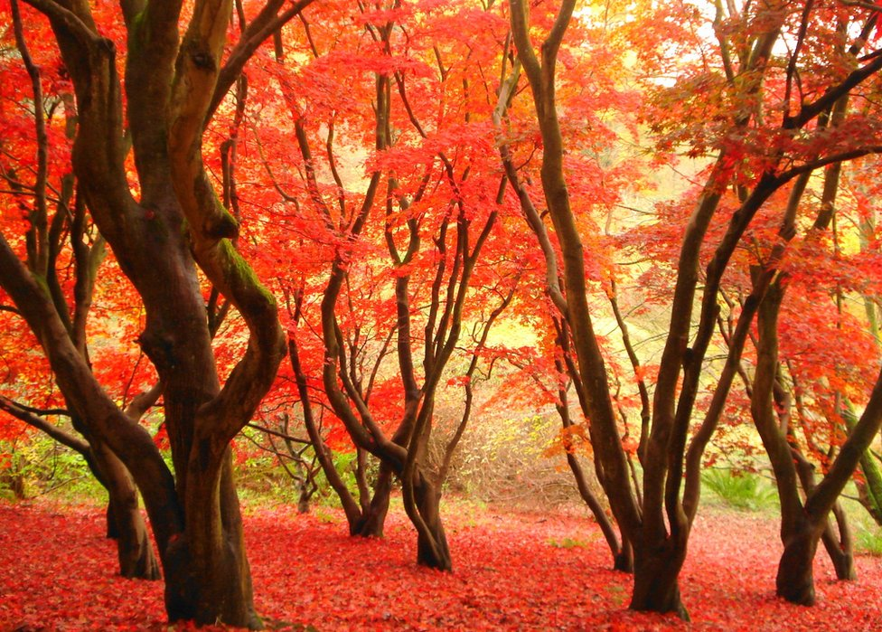 Bright red trees within a forest in Sussex