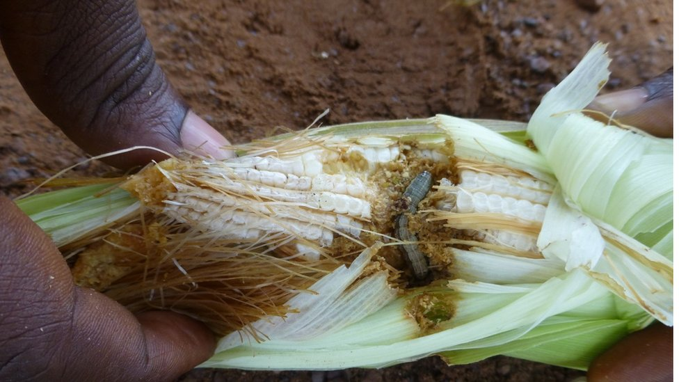 The army worm burrows into cobs