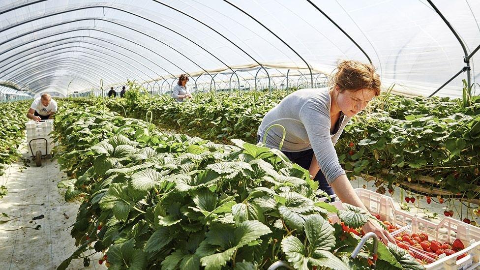 Mulher colhendo tomates em horta